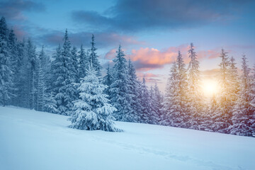 Wall Mural - Majestic winter landscape with snowy spruces on a frosty day.