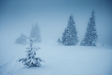 Wall Mural - Great winter landscape with snowy spruces on a frosty day.