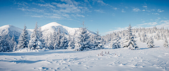 Wall Mural - White winter spruces in snow on a frosty day. Location place Carpathian mountains, Ukraine.