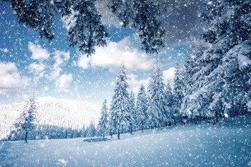Wall Mural - White winter spruces in snow on a frosty day.