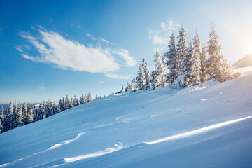 Wall Mural - Awesome winter landscape with snowy spruces on a frosty day.