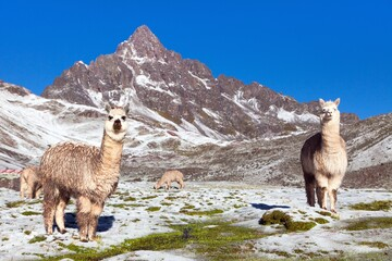 llama or lama, group of lamas on pastureland