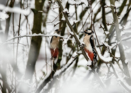 Spotted woodpeckers in snowy branches