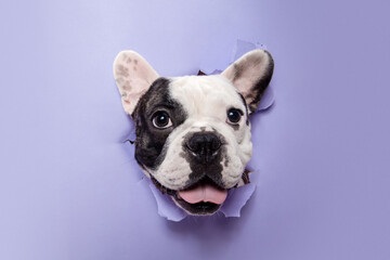 Gentleman. French Bulldog young dog is posing. Cute playful white-black doggy or pet is playing and...