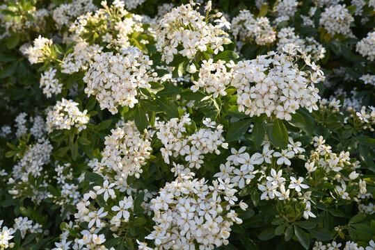 Choisya ternata au printemps au jardin