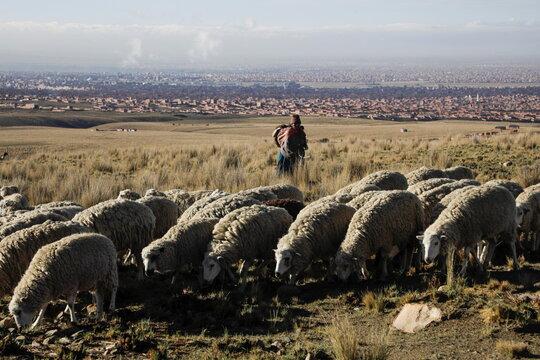 A woman shepherds sheep near El Alto outskirts of La Paz