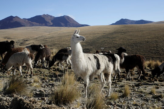 Llamas are seen near El Alto outskirts of La Paz
