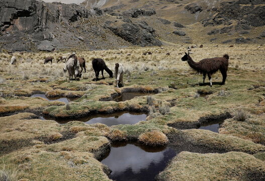 Llamas are seen in a wetland in Tuni, near La Paz