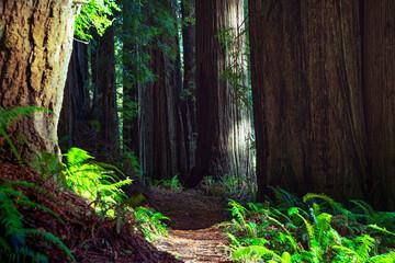 redwood trees along the trail Fotobehang