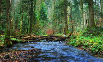Small river in autumn pine forest with a carpet of brown and golden fallen leaves. France, Alsace....