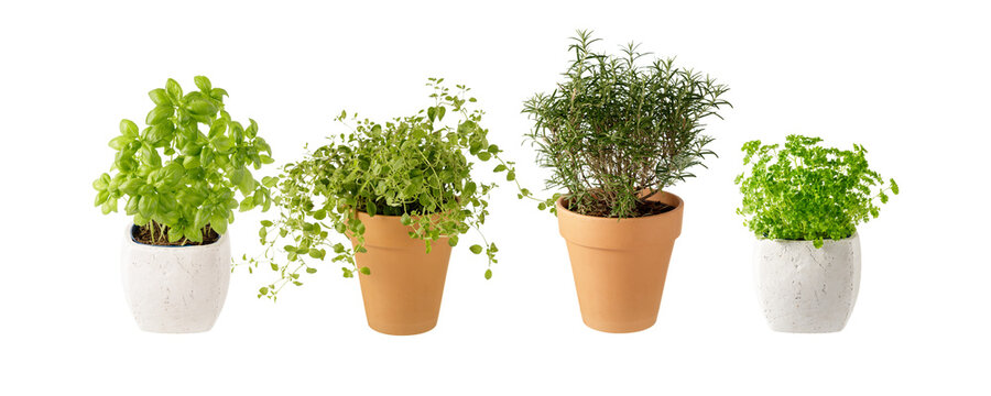 Potted aromatic food herbs collection for garden or home. Basil, rosemary, oregano, parsley plants in clay pots isolated on white background