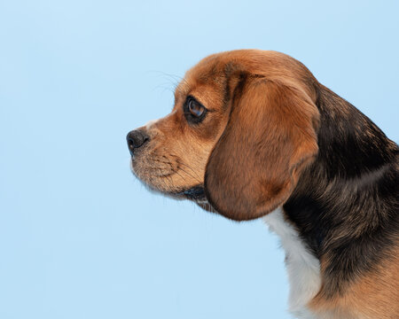 Tricoloured Beaglier dog in profile head shot against a pale blue background.