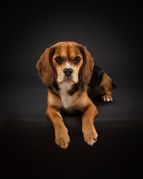 Studio portrait of a tricoloured Beaglier dog with a black background.