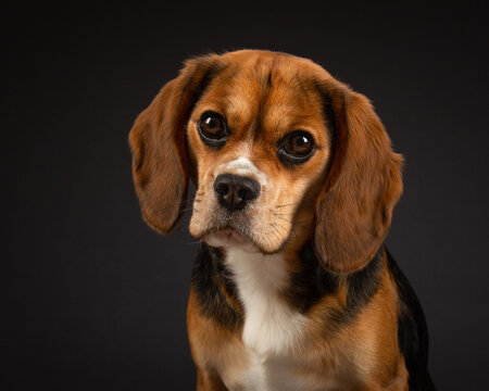 Frontal head shot of a tricoloured Beaglier dog with a black background.