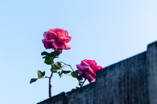Pink roses growing over a wall