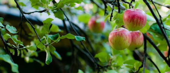 Fototapeta jabłka na drzewie w sadzie obraz