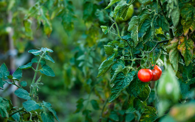 Dwa czerwone pomidory na krzaku w ogrodzie