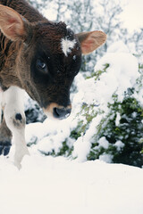 Wall Mural - Brown and white beef calf in winter snow close up.