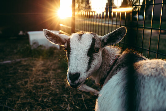 Majestic goat staring at the camera while the sun sets in the background