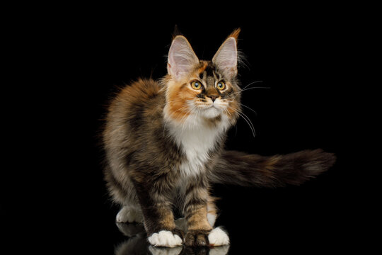 Playful red maine coon cat with polydactyl paws standing on Isolated black background