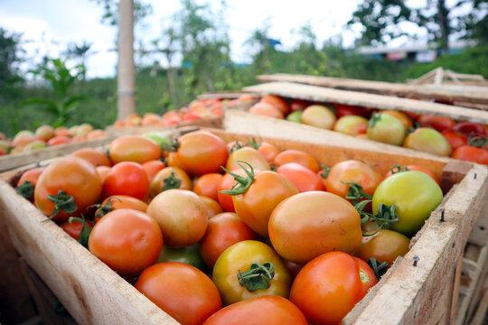fresh tomatoes on the plantation