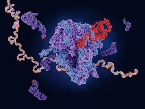 Ribosome translating mRNA into a polypeptide chain