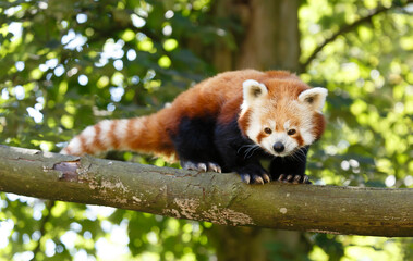 Red panda (ailurus fulgens) in a tree