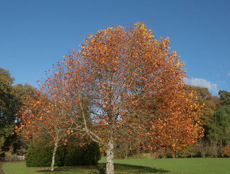 Brown Autumn Leaves on a Deciduous Tulip Tree (Liriodendron tulipifera) Growing in a Garden with a Bright Blue Sky Background in Rural Devon, England, UK
