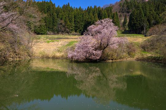 喜多方市 鏡桜