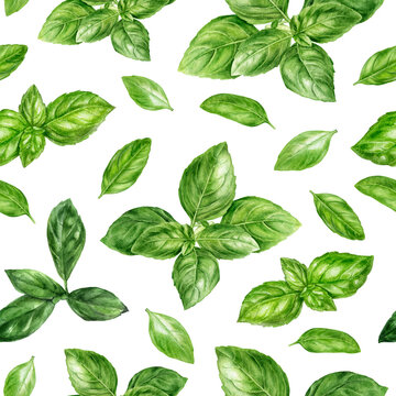 Watercolor seamless pattern basil herb isolated on white background.
