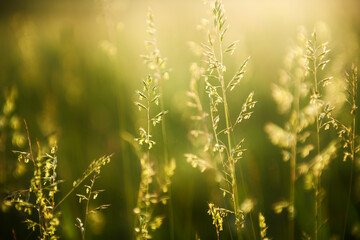 Green grass in a forest at sunset. Macro image, shallow depth of field. Summer nature background.