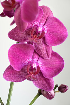 Purple spotted Phalaenopsis Moth Orchid flowers and buds on white background