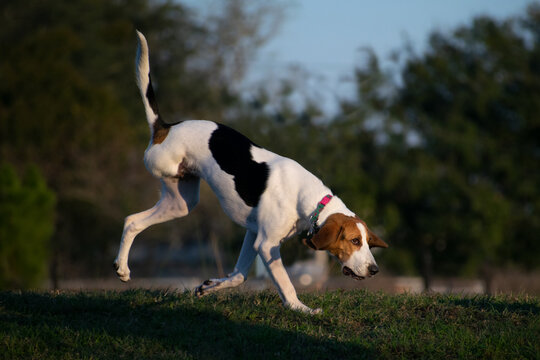 Hound dog with three legs runs across the grass at sunset