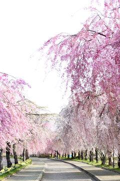 喜多方 日中線 しだれ桜並木