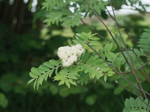 (Sorbus aucuparia) Sorbier des oiseleurs, arbuste aux branches lisses et grisâtres garnis de feuilles à folioles pennées vertes et fleurs blanches en corymbes