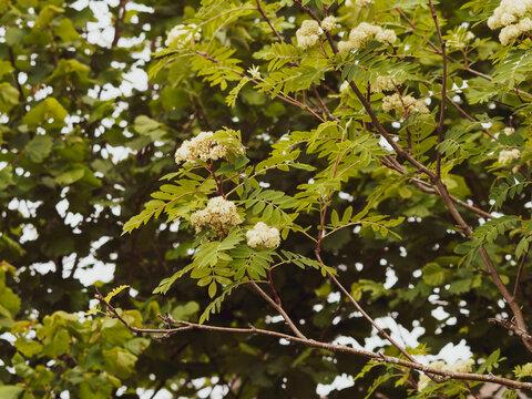 Sorbus aucuparia | Sorbier des oiseleurs | Sorbier des oiseaux | Sorbier sauvage | Arbres à grives | Thymier | Cormier des chasseurs