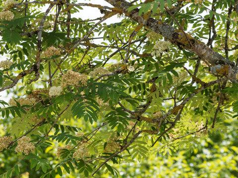Sorbus aucuparia / Sorbier des oiseleurs ou sorbier des oiseaux, arbre aux grappes de fleurs blanches en corymbes au dessus d'un feuillage à folioles pennées, duveteux et vert