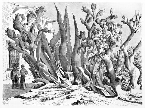 huge typical Mexican succulent tangled plants compared to small people in Chihuahua state. Ancient grey tone etching style art by Minne and Rond�, Le Tour du Monde, 1861