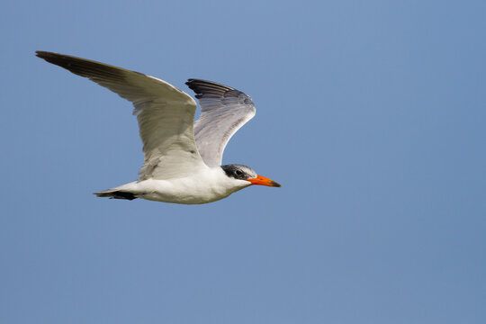 Reuzenstern, Caspian Tern, Hydroprogne caspia