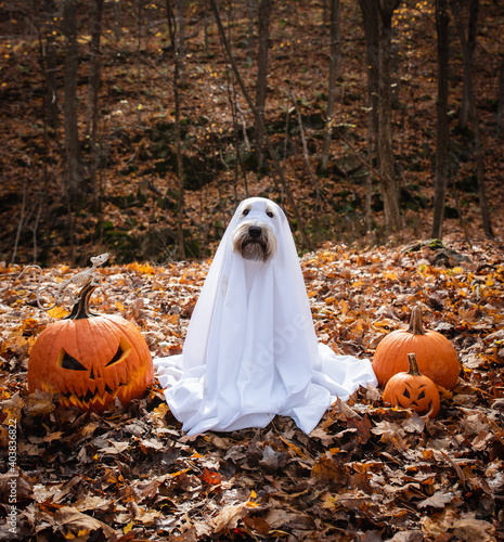 Dog wearing a ghost costume sitting between pumpkins for Halloween.