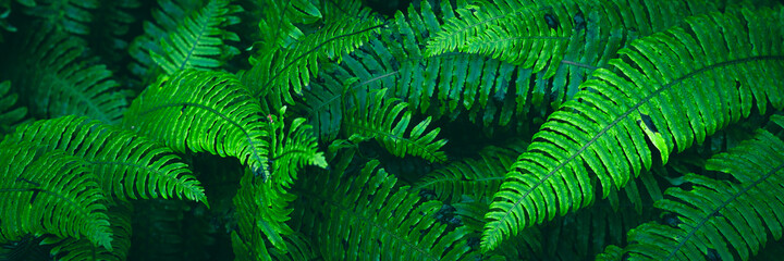 Fern plants. Fern leaf. Green fern leaves in forest. natural texture pattern background. Tropical foliage in jungle.