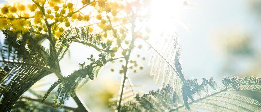 Bannière de feuilles de mimosa en contre-jour dans un arbre un jour ensoleillé