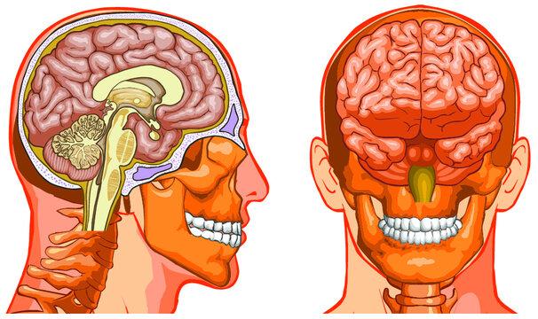 Vector medical illustration of Human Brain cross-section.