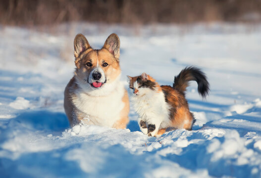 -cute and fluffy friends red cat and dog corgi sit next to each other in the winter park in the snow
