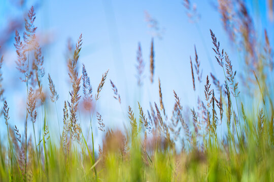 Tall green grass in a wild field. Tall grass in the field. Background from tall field grass.