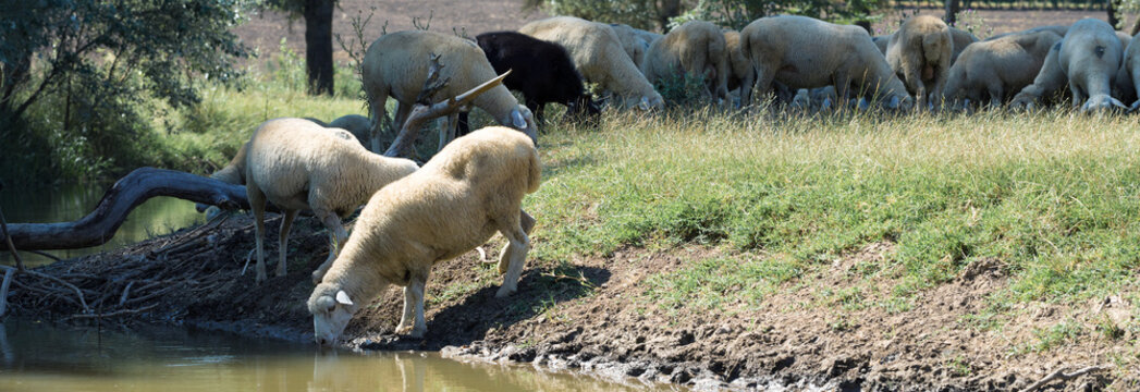 Sheep drinking water on the shore of the lake. Pastures of Europe.