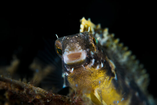 Textured goby fish on coral reef in indonesia