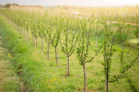 Growing trees in an orchard. Countryside