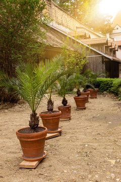 Palm tree in a pot.