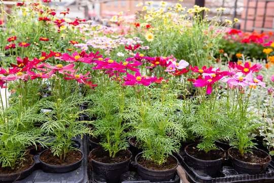 Seedling flowers cosmos on the market. Gardening.